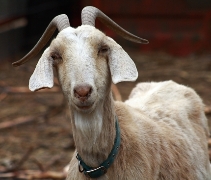 goat3281